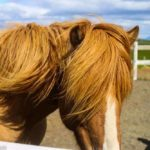 Family Fun with Icelandic Horses