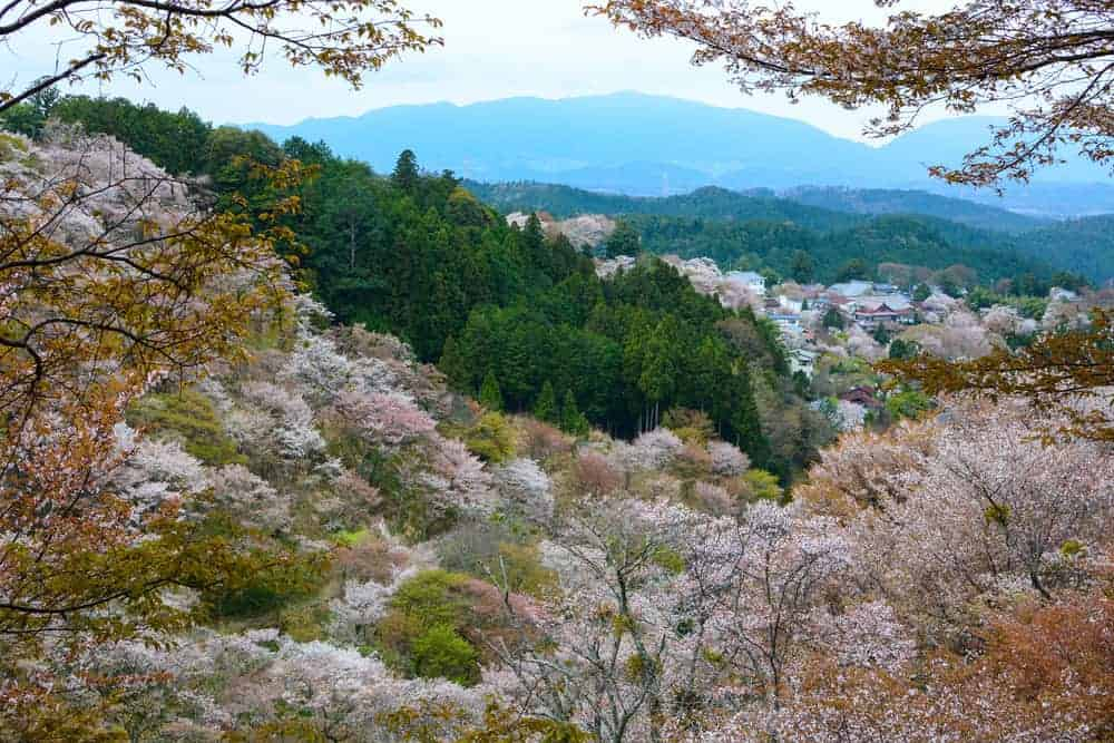Some of the 30,000 cherry trees planted on Mt Yoshino during cherry blossom time.