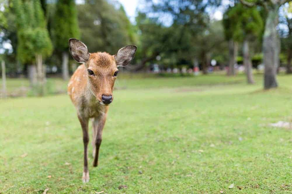 A nosy deer in Nara Park