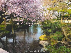 Cherry blossoms in bloom at Kenrokuen Garden in Kanazawa