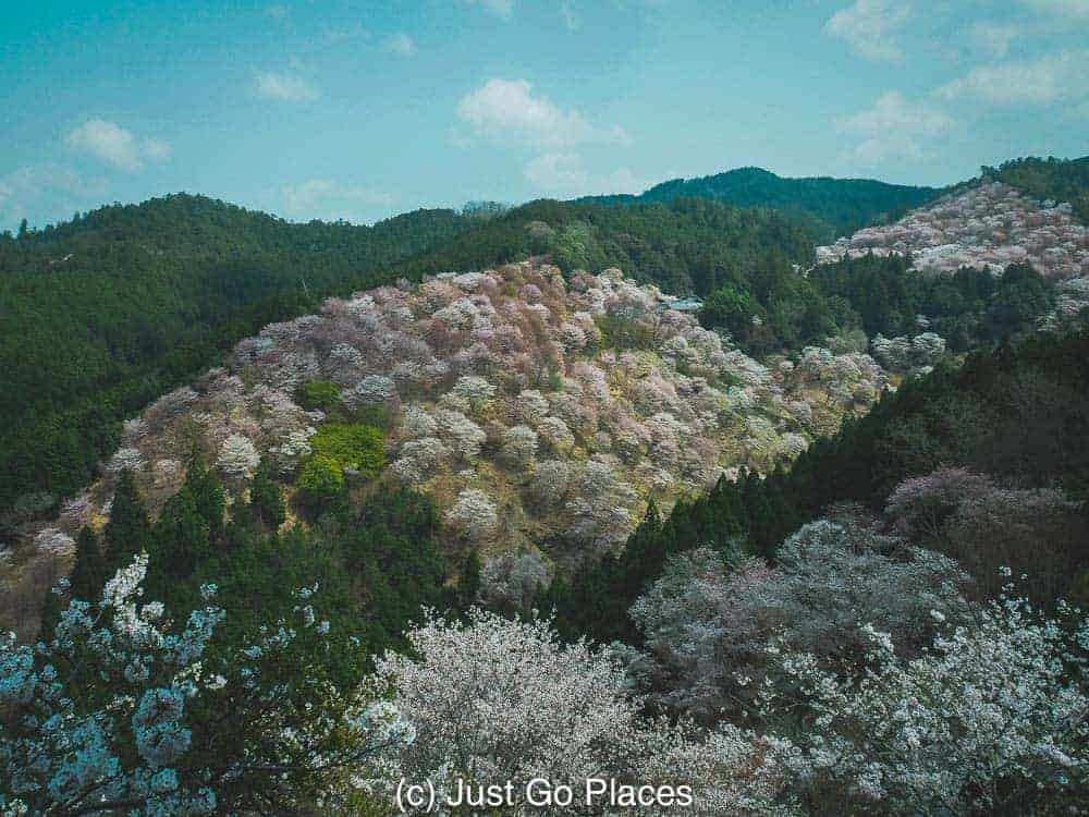 Cherry trees in blossom at Mount Yoshino