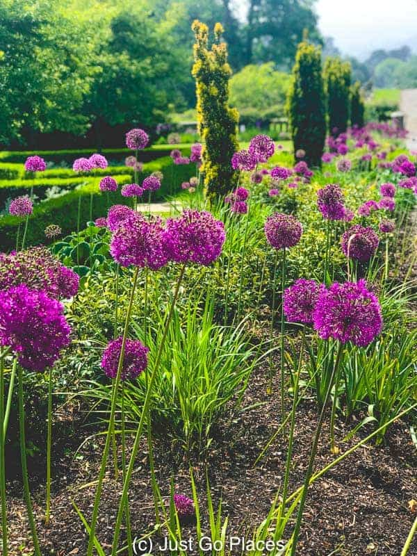 Rows of alliums at Bodnant Gardens North Wales