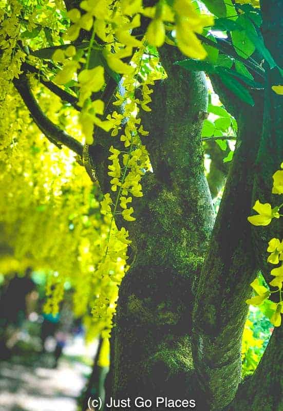 These Laburnum trees were planted in 1880!