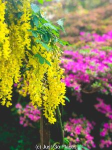 The vibrance of the Laburnum contrasts with the other colors of the garden.