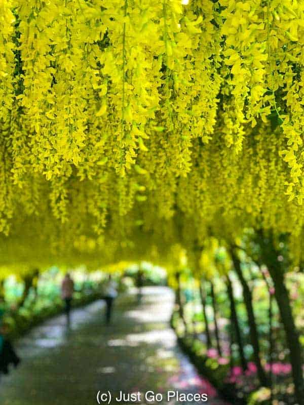 You can see why Laburnum is nicknamed Golden Rain.