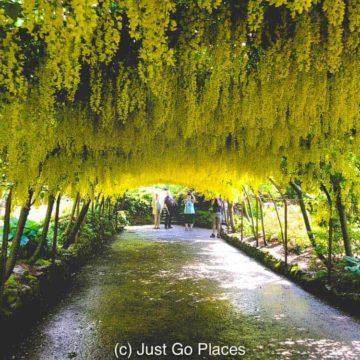 This Bodnant Laburnum Arch planted in 1880 is an homage to similar arched walkways from earlier centuries popular in Europe.
