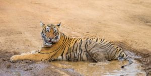 One great option is to combine a India Golden Triangle tour and tiger safari at Ranthambore National Park