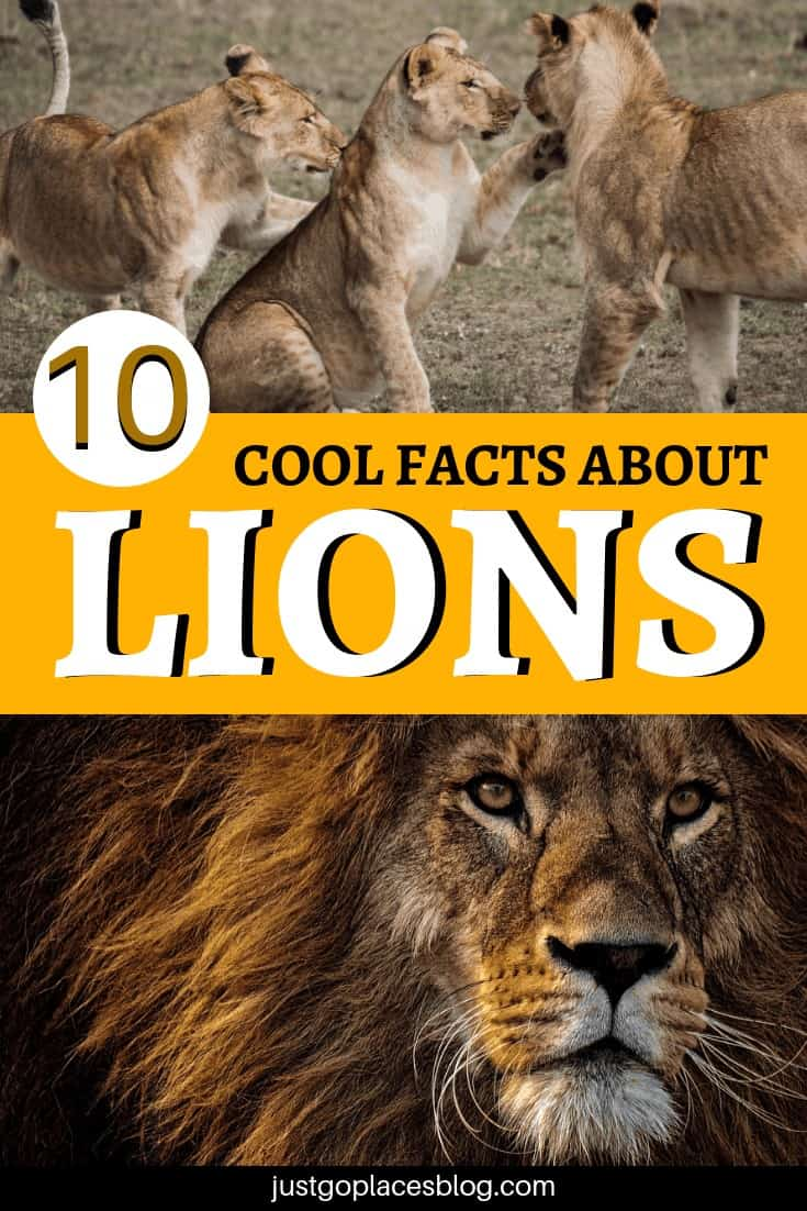 South Africa is hands down one of the best places to go for a safari and to see lions in the wild, and if you go with the family, your kids will absolutely love it. Discover 10 cool facts about lions we learnt during our safari in South Africa! These surprising facts about lions for kids will blow their minds. #southafrican #lion #safari #lions #coolfacts
