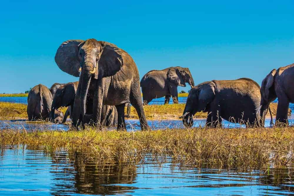 Elephants in the Chobe River in Botswana