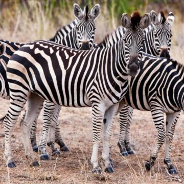 A zebra herd wanting to know what you are looking at.