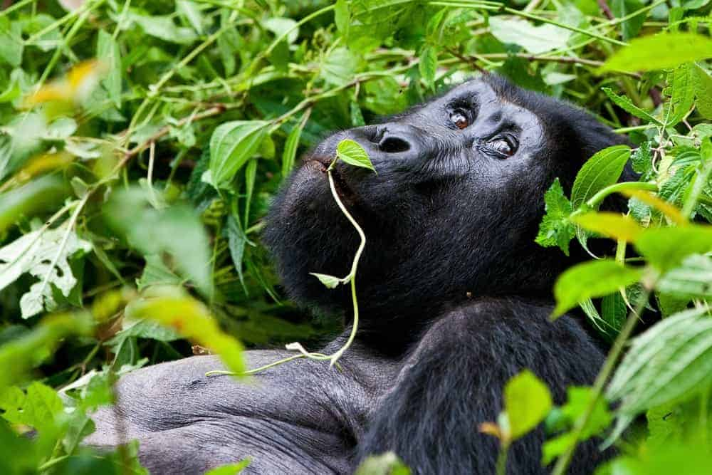 A silver back gorilla lounging without a care in the world in Uganda,