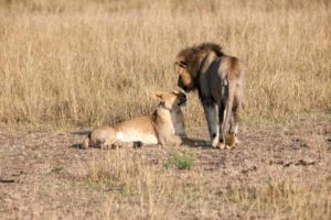 We discovered on a South African safari that the lion's share of the work is done by lionesses.