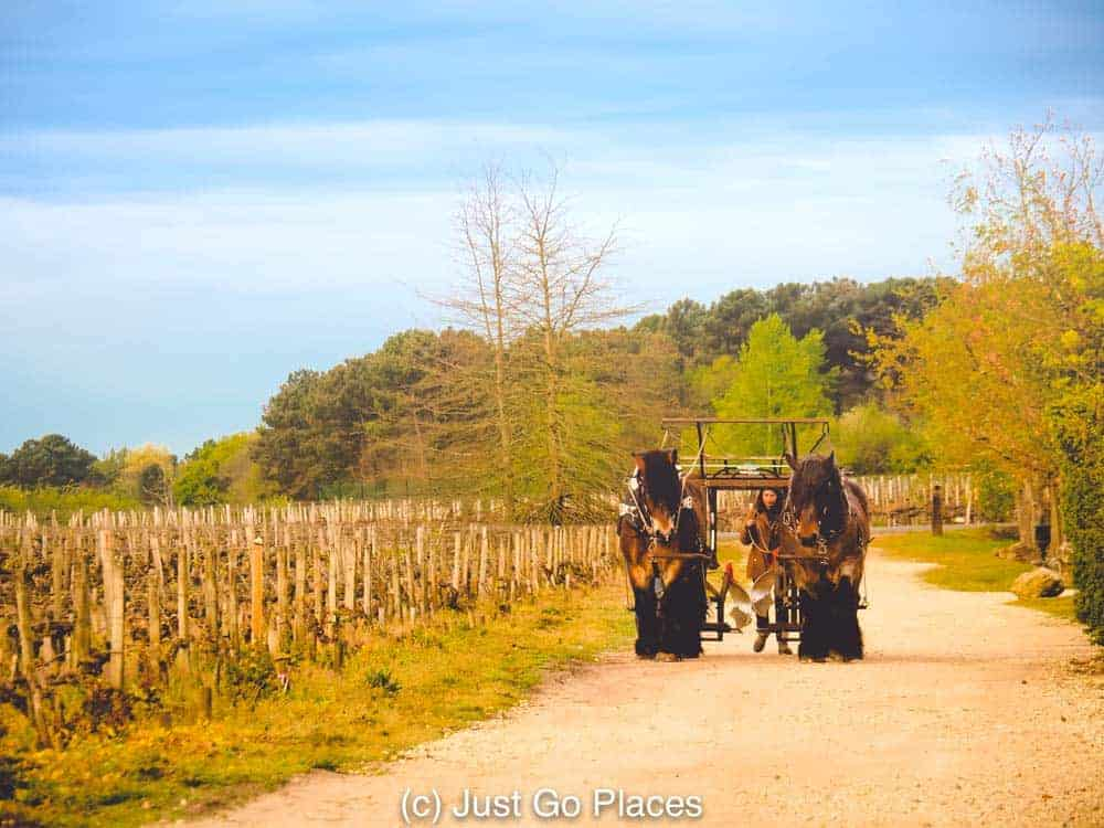 Working horses are probably  not a usual occurrence at vineyard hotels Bordeaux.