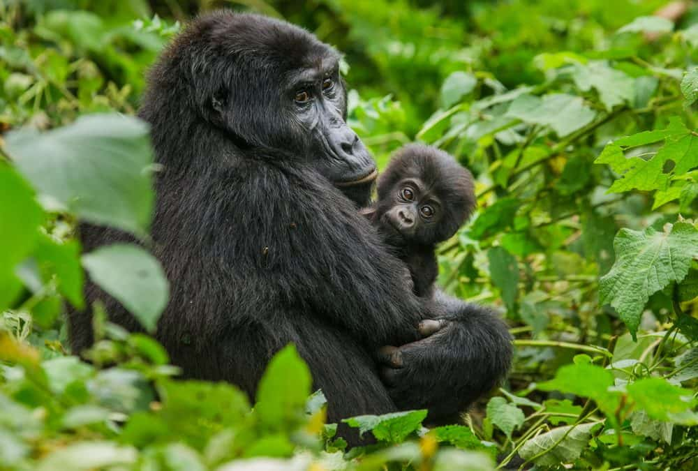 10 Reasons Why You Should Go Gorilla Trekking (+ Why Gorilla Trekking Tours Help Gorillas)