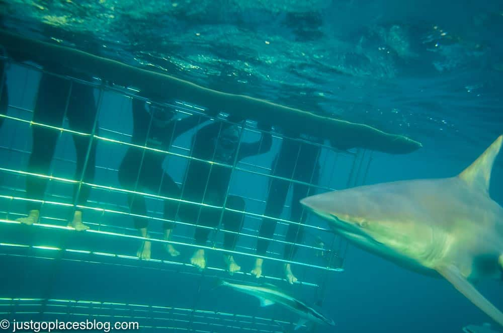 cage diving with sharks South Africa