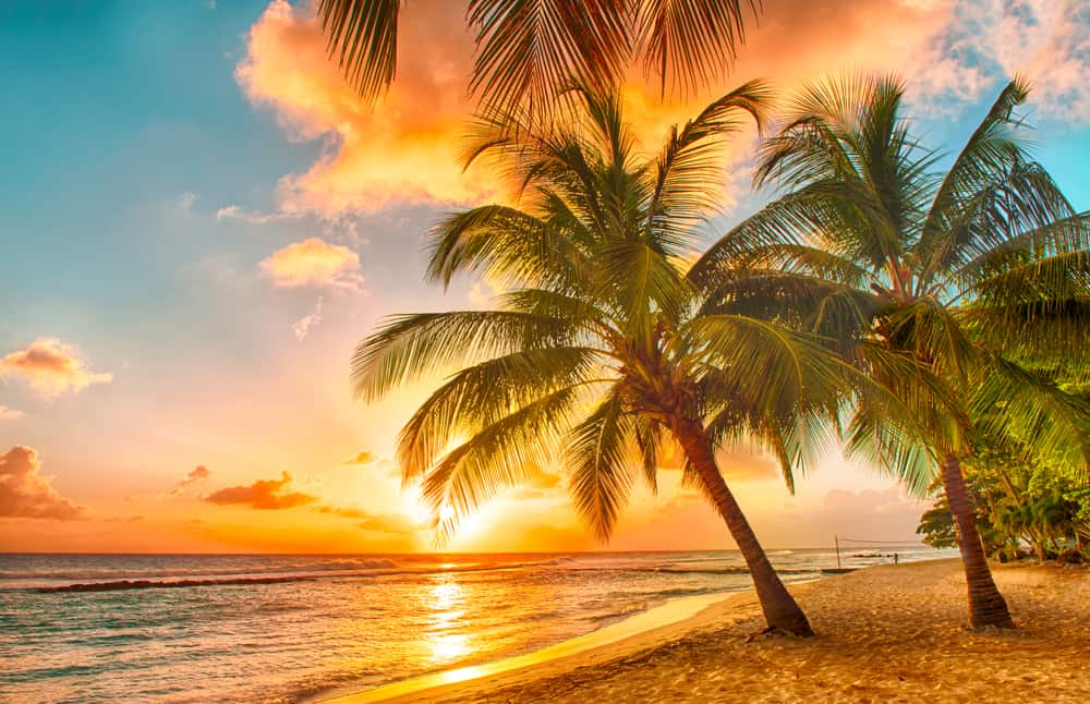 palm tree in Barbados