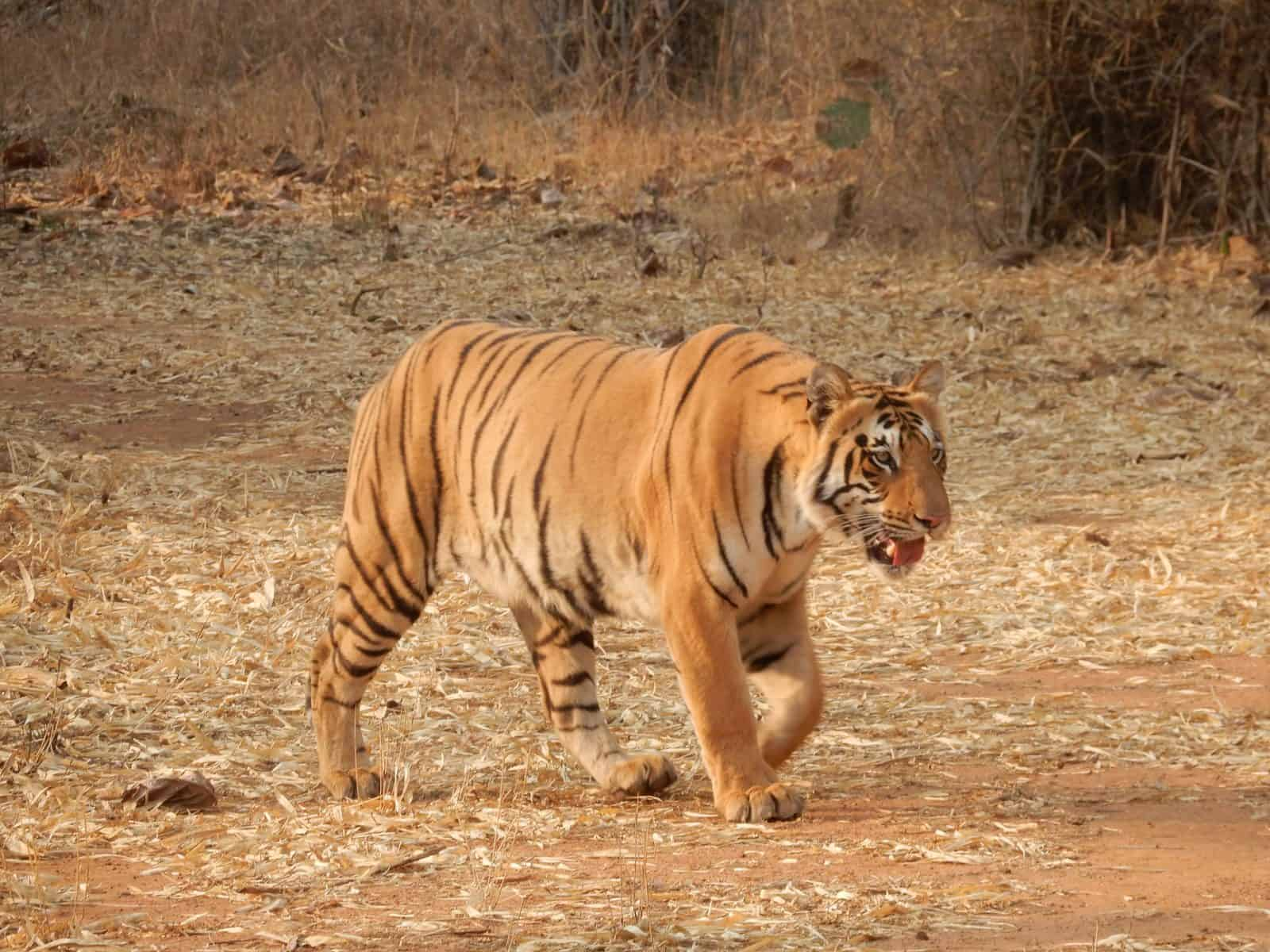 tiger walking across a dry grassy plain