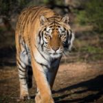 Tiger walking on the path