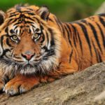 The 10 Best Tiger Safaris in India (+ the Best National Park in Nepal for Tiger Safaris)