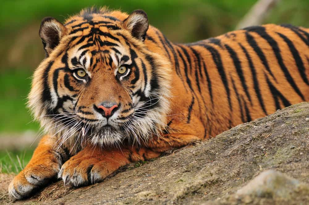 Beautiful Sumatran tiger crouching on a rock
