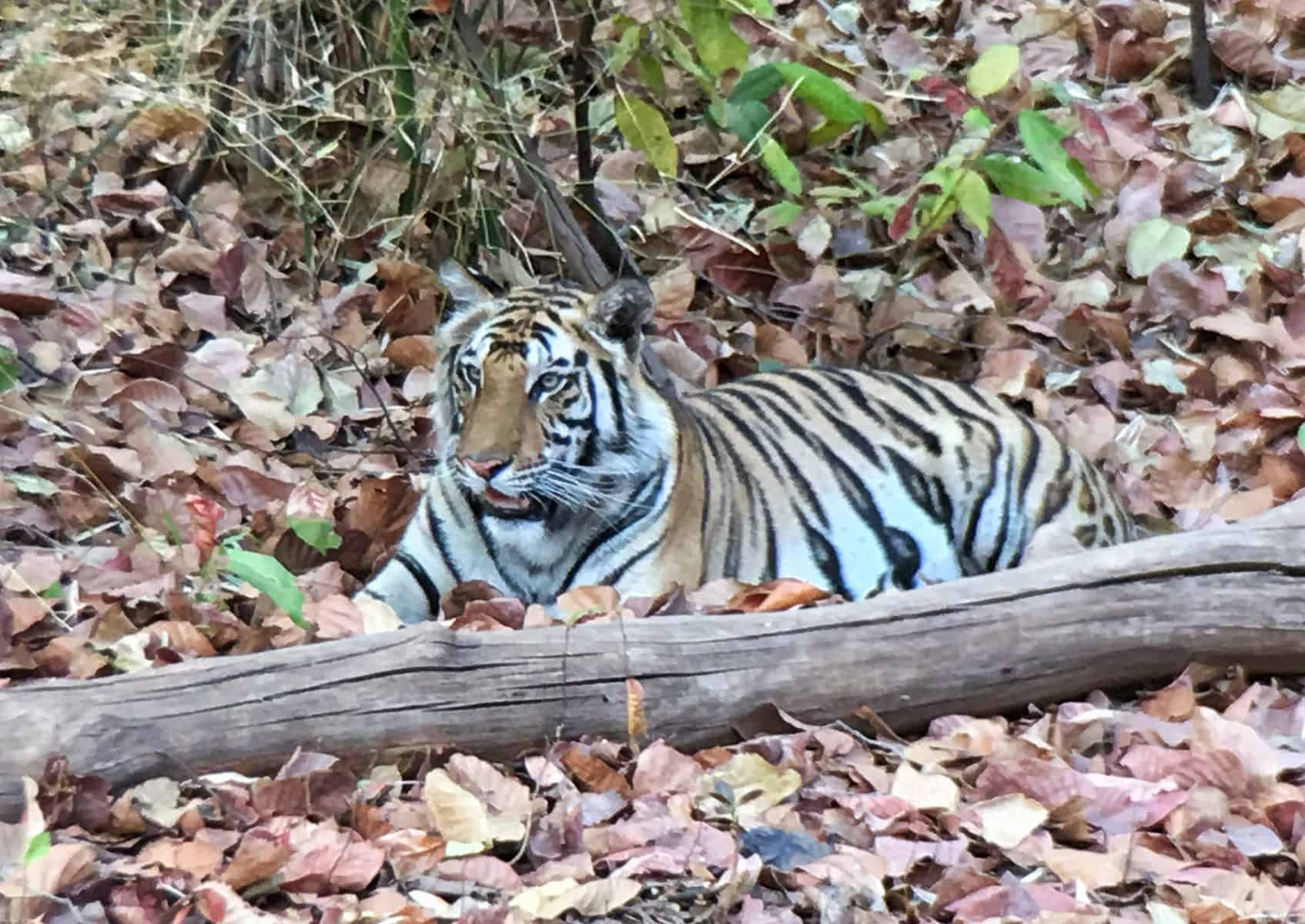 female tiger cub lying-in the leaves in Bandigharh National Park