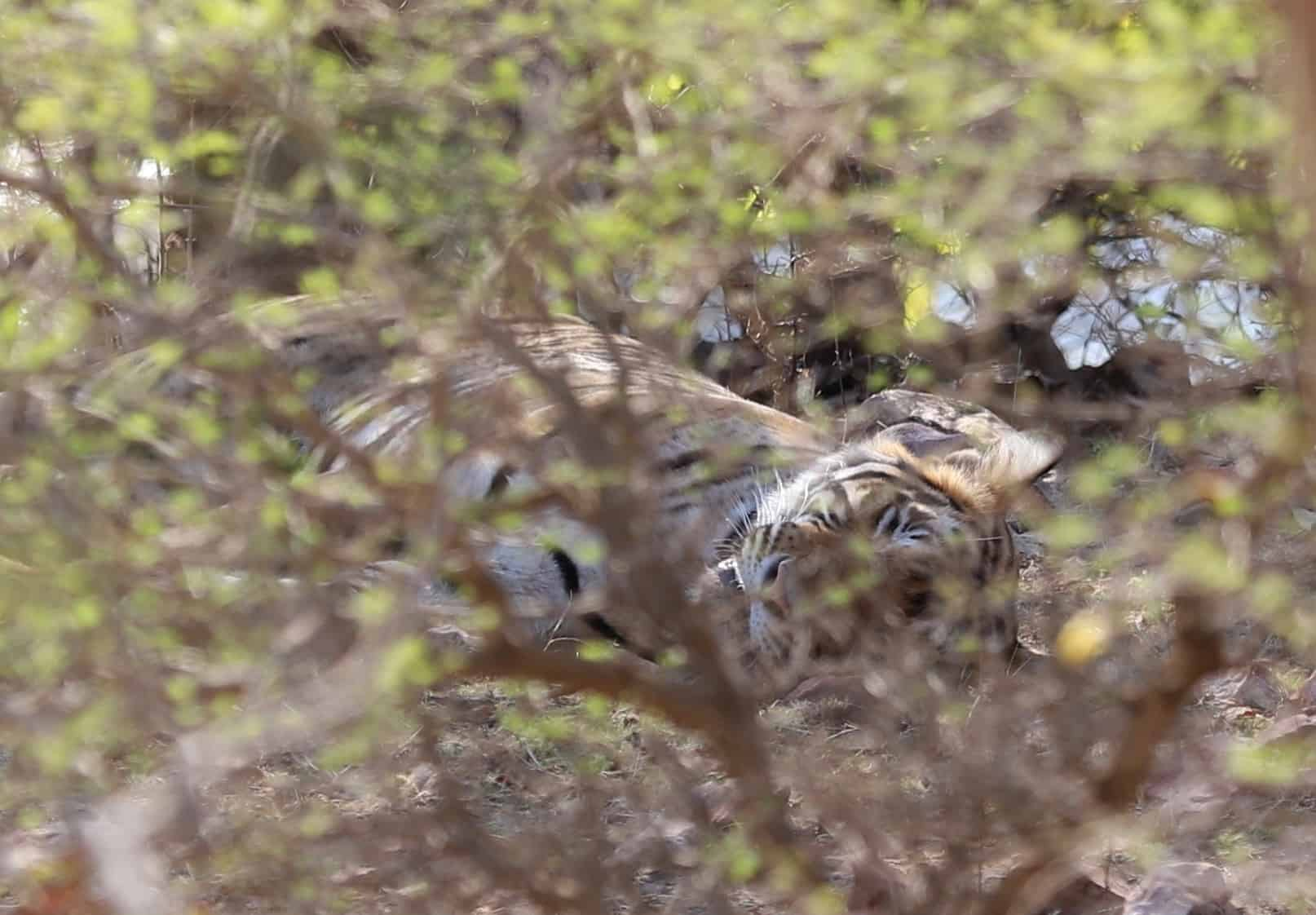 tiger hiden inthe bramble in Ranthambore National Park