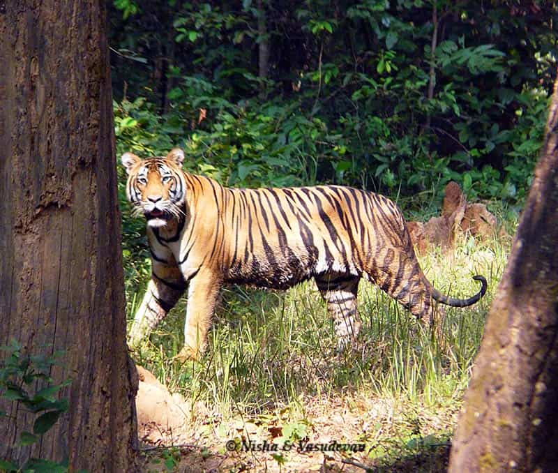 A tiger spotted between the trees at Kanha National Park in India