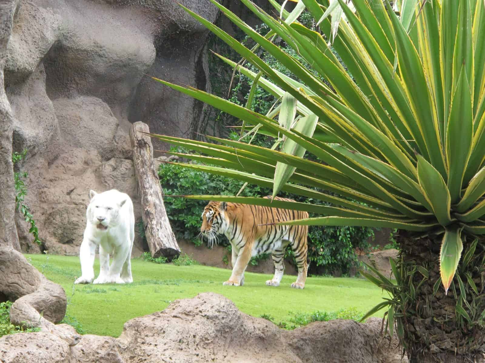 A white tiger and a regular tiger at Loro Parque in Tenerife Spain