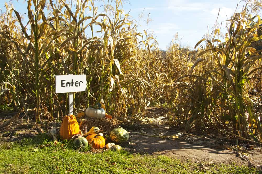 entrance to a corn maze