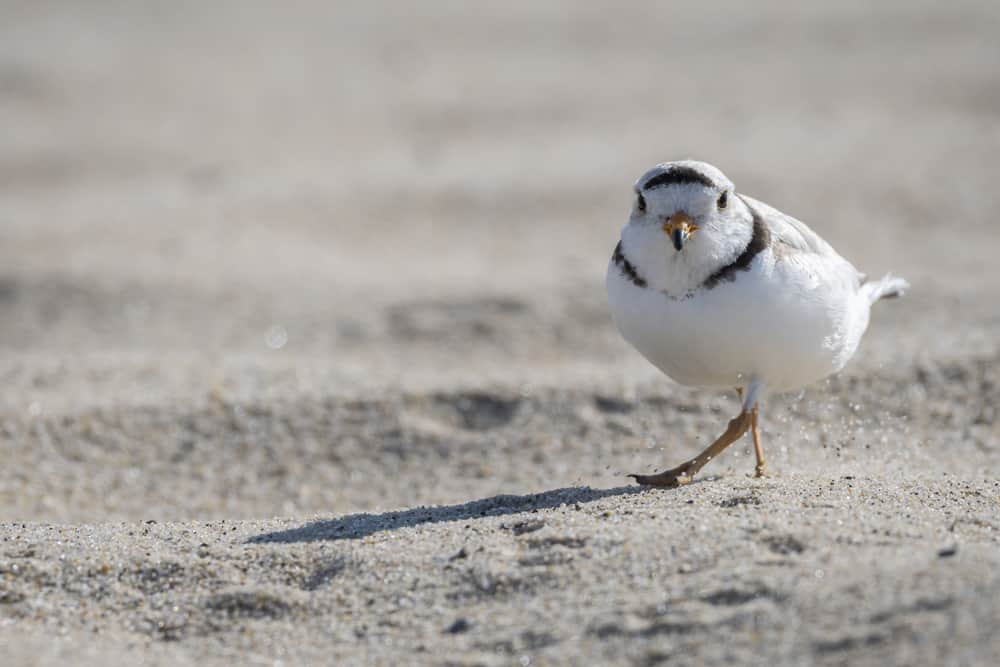 A piping plover is walking on the beach