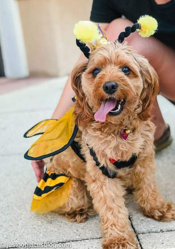 dog dressed as a bumblebee for Halloween in Naples Florida