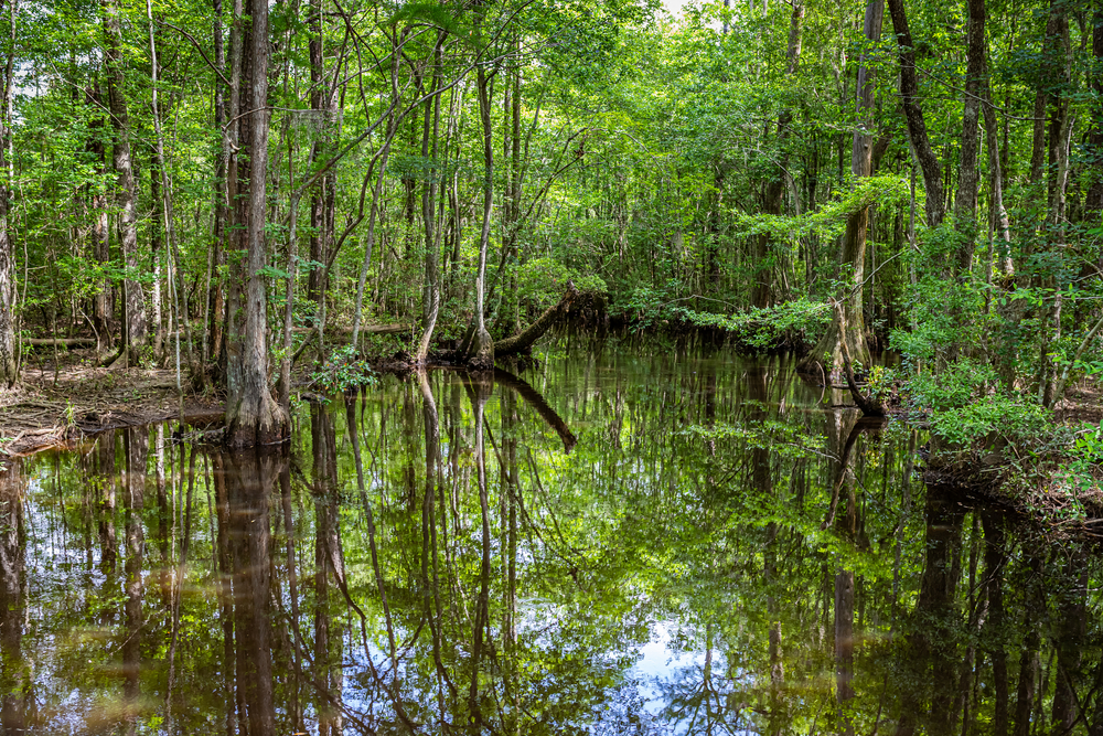 Cypress Trees and Wisteria Vines inhabit a swamp in southeastern Georgia.